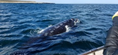 Whale watching at the Peninsula Valdes